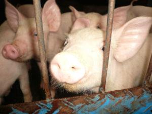 Schweinegrippe erreicht Greifswald