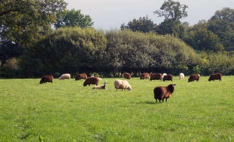 Solidarische Landwirtschaft Schafherde