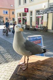 Möwe in Greifswald